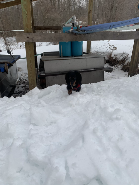 Rosie the Maple Dog checking the sap tanks