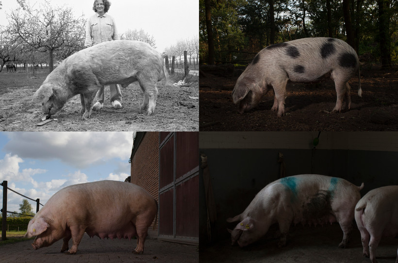 Pigs then and now