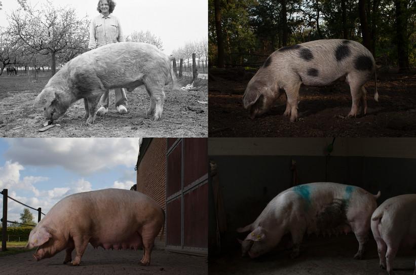 Varkens toen en nu