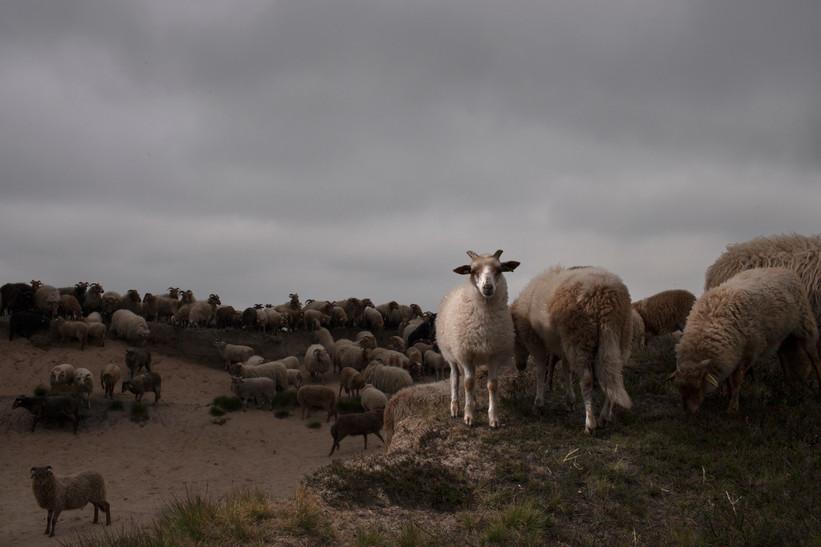 The DrentsHeide-sheep