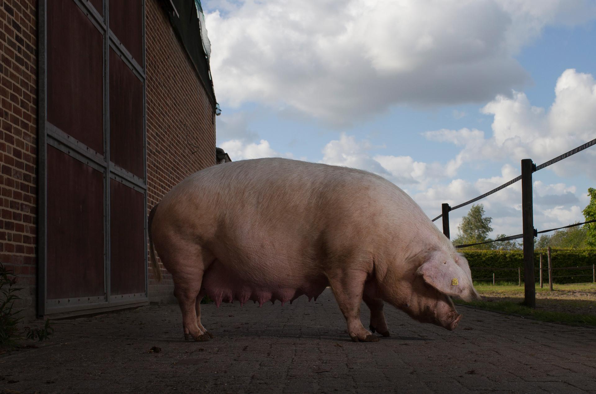 Het Nederlandse Landvarken