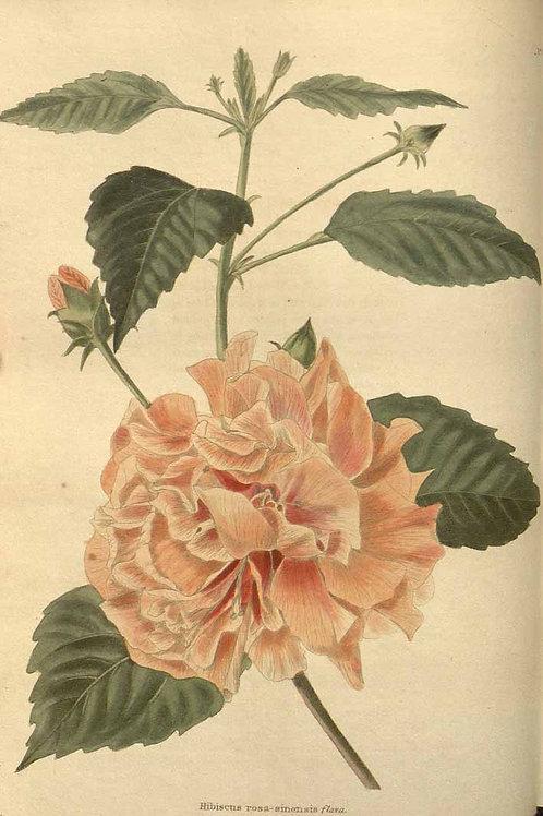 China Rose Petals