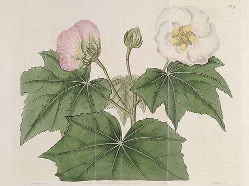 Cotton Rose Leaf