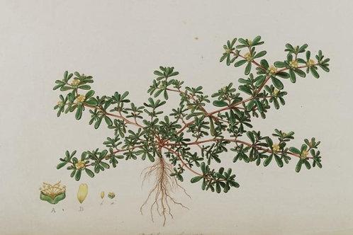 Purslane Leaf