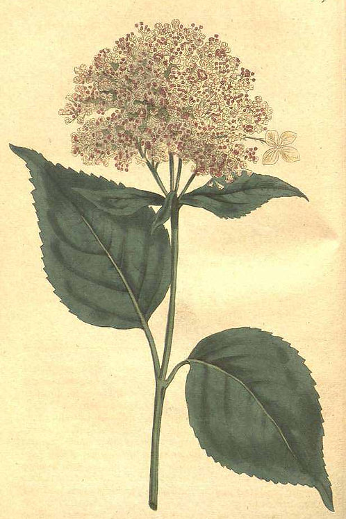 Organic Hydrangea Root