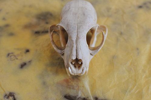 Bobcat Skull