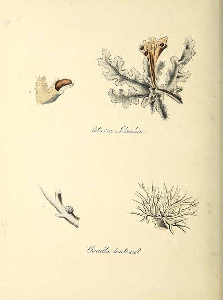 icelandic moss.jpg