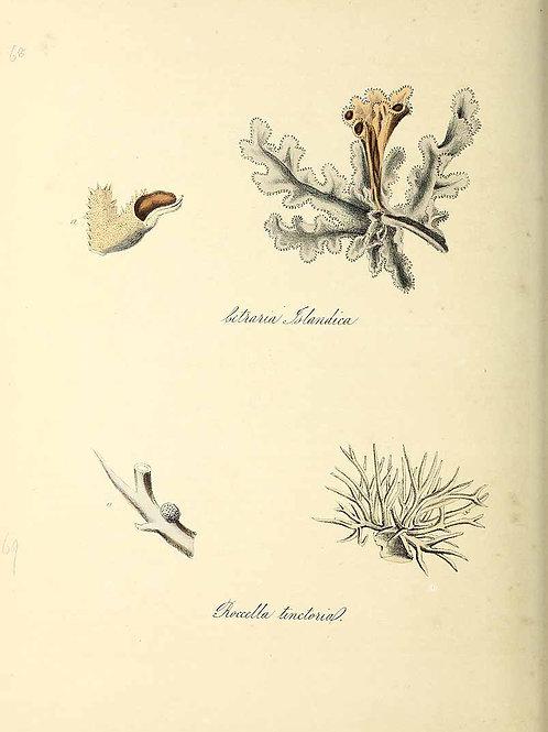 Organic Icelandic Moss