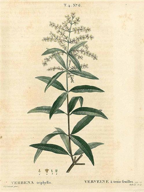 Lemon Verbena Leaf