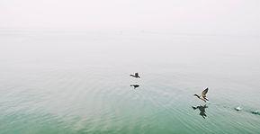 湖のアヒル