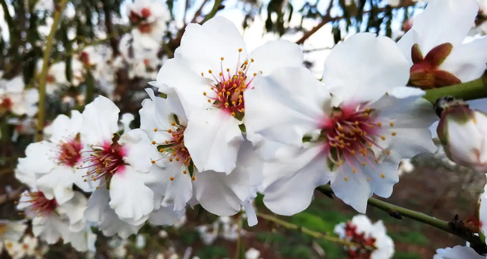 """""""בארץ אהבתי השקד פורח"""" (לאה גולדברג) פברואר 2020 Almond blossom,February 2020,Kfar Kisch"""