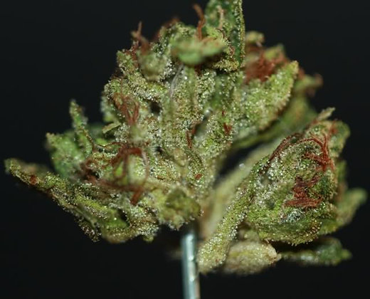 """Earth OG (ROOTED 4-6"""" Tall)"""