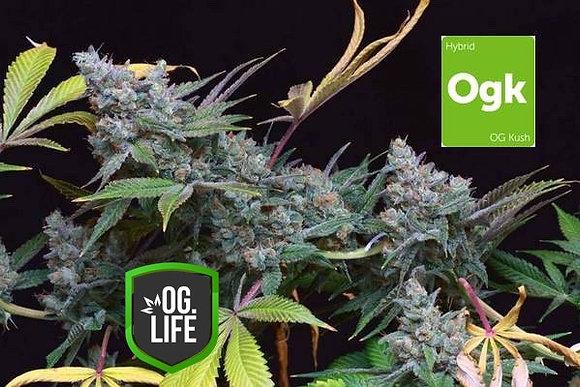 OG Kush Feminized Cannabis Seeds (10x Packs)