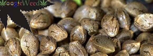 Trendsetter Seeds (50+ Regular)