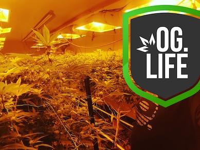 OG_Marijuana_Plants_Flower_Room_4.jpg