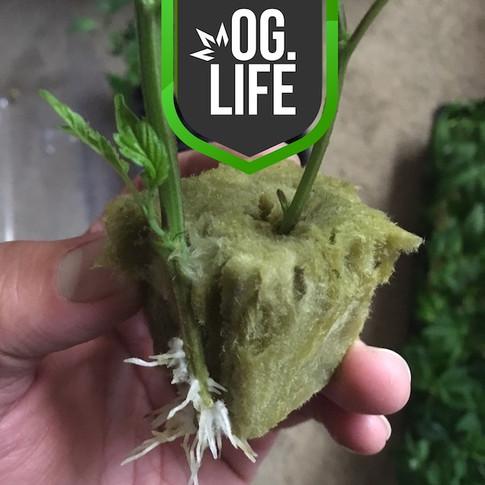 OG_Marijuana_Plants_rooted_white_fuzzy_r