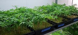 Phase 3 CA compliant nursery clones teen