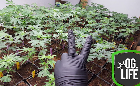 OG_Marijuana_Plants_Coco_Vegetative_Flow