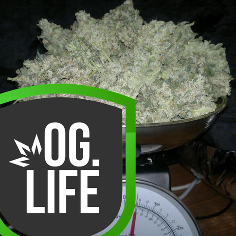 Huge_xxl_yields_OG_Marijuana_Plants.jpg