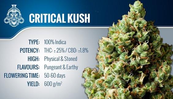 Critical Kush - OG.Life - cannabis marij