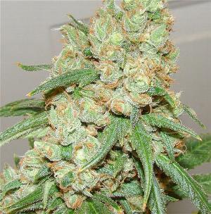 Sour Diesel (Plants)