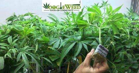 grodan-googleweed-via-420-labs-healthy-transparent-stem-rooted-clones