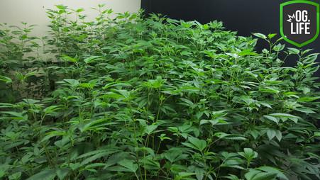 GXLabs Red Leader 4 - OG.Life - cannabis