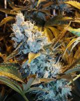 Tahoe OG (18%Δ9) (Plants)