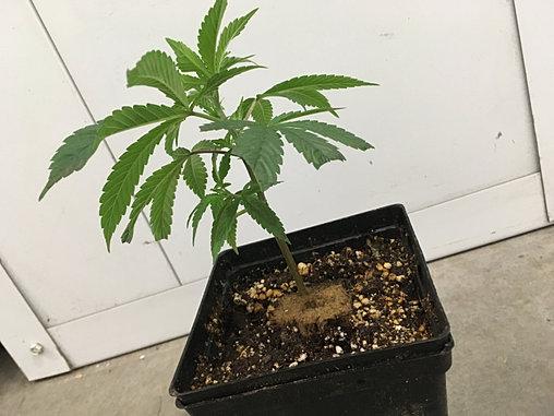 teen marijuana clones