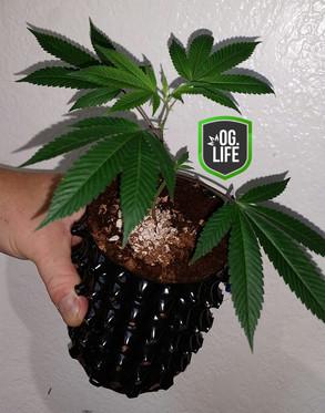 GXL pre teen 6 - OG.Life - cannabis mari