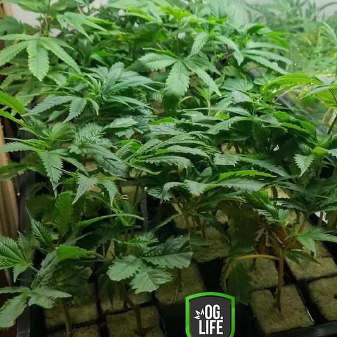 Lush_Tray_OG_Marijuana_Plants.JPG