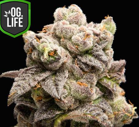 Mendo OG - OG.Life - cannabis marijuana