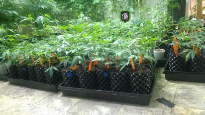 GXL pre teens 1 - OG.Life - cannabis mar