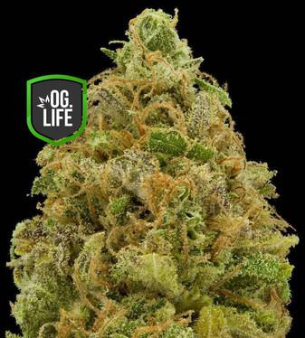 Critical Mass - OG.Life - cannabis marij