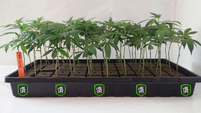 m-labs C99xSage N Sour Rooted Oasis Tray
