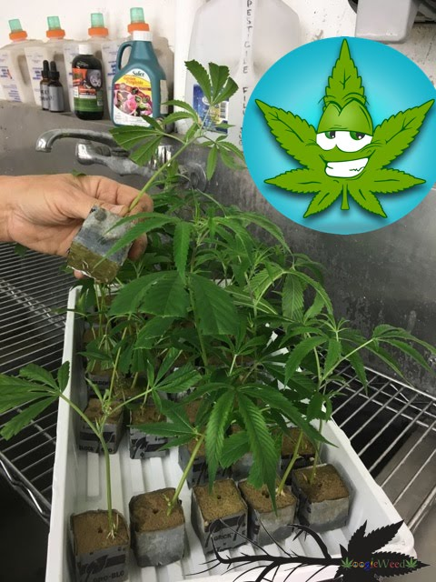 oddball-sized-clones-discount-days-at-googleweed-via-420-and-you420