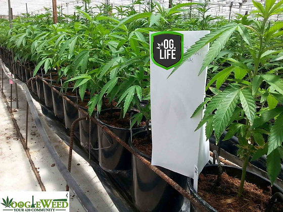 """Teen Rooted Clones 14-18"""""""