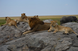 Lions on Pride Rock, Serengeti
