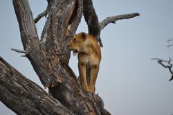 Lion in tree - Serengeti
