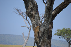Young leopard climbing tree