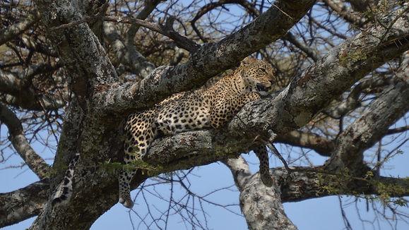 Leopard in tree - Tanzania