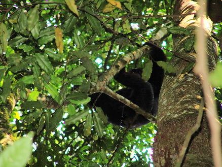 Chimpanzee in Bwandi