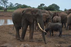 Elephants at The Ark, Kenya