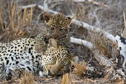 A female leopard in South Africa