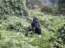 Gorilla in Bwandi