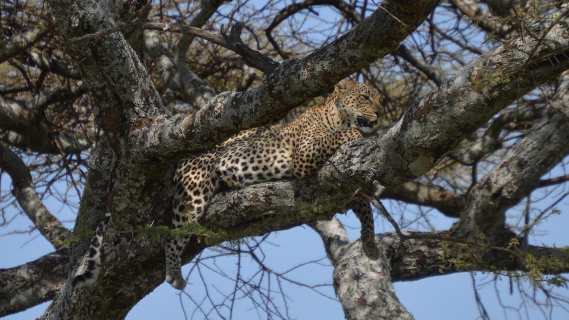 Leopard in tree - Serengeti