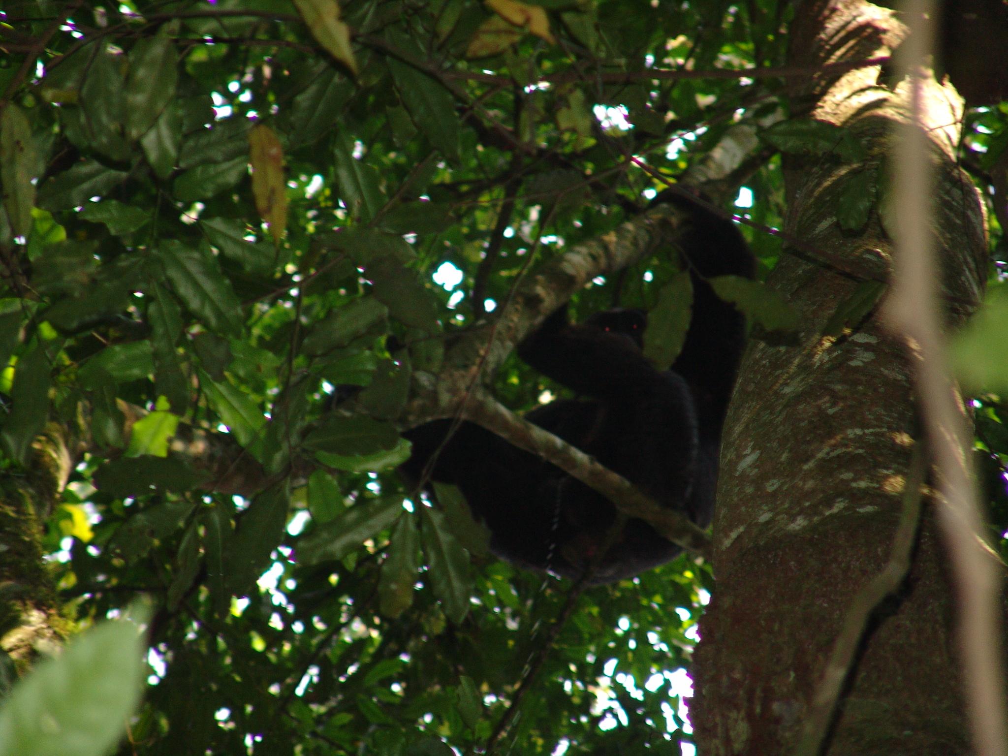 Chimp in tree - Uganda