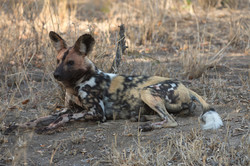 African Wild Dog in South Africa