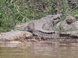 Crocodiles on river in Ethiopia