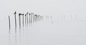 Skarve i tåge   Varbjerg Strand